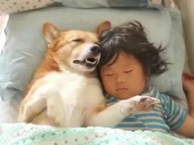 金毛主动照顾小主人午睡,帮忙脱袜子的举动萌翻了