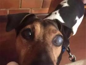 患上了青光眼的狗狗,用自己的方法来确认主人在不在身边