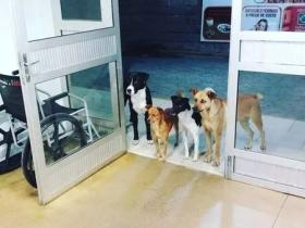 流浪汉到医院看病时,医院门口多了四只满脸担忧的狗狗