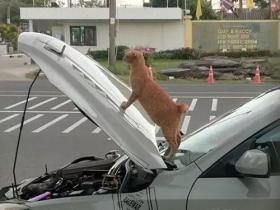 网友车子坏了,停在路边修理,没一会就被一只橘猫霸占了