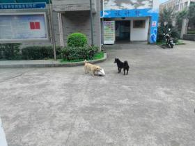 外卖送到了宿舍后,没想到被两只狗狗偷走了,还是团伙作案呀!