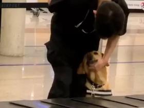 又有警犬上班摸鱼被偷拍啦:这个撒娇方式是不是有点太过了?