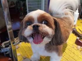 西施犬偶遇美容师,满脸惊恐:你怎么在这?