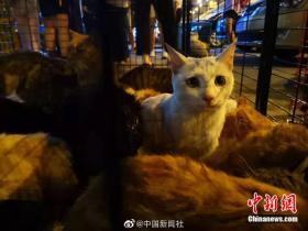数百只将被屠宰的猫咪被截获 正被全力救治