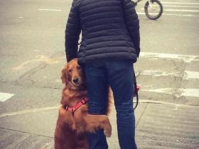 这只大金毛在美国街头逢人便抱,专治各种不开心!