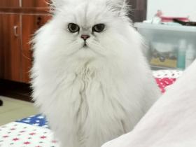 要说最表里不一的猫,那肯定是长毛猫了