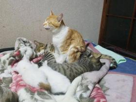 猫咪坚持不睡觉,远看稳坐如钟,近看…酣睡如猪!