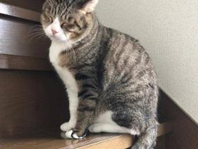 猫咪短短的小尾巴,居然还卷成了一个圈儿?