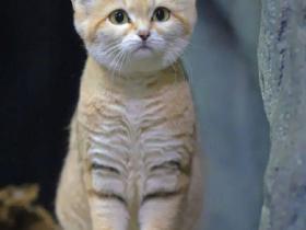 沙漠猫的幼崽也太奶了吧!现在不吸以后就吸不动啦!