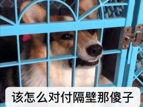 """狗狗大型""""吵架现场"""":吵最凶的架,做最怂的狗"""