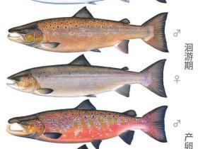 三文鱼刺身的前世今生,什么是三文鱼?