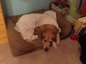 一种来自亚洲的新型流感让美国中西部的狗患病