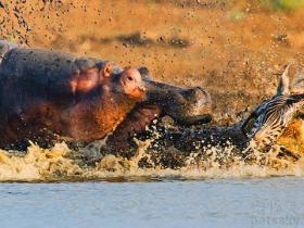 鳄鱼衔斑马头吓到河马宝宝 河马妈妈发飙将其狂殴