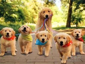 准备养只狗,大家觉得金毛好还是萨摩耶好?