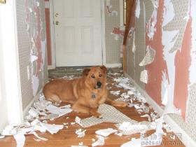 纠正狗狗的坏习惯:拆家、捣乱、不听话