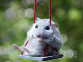 仓鼠最长时间可以多久不吃不喝?