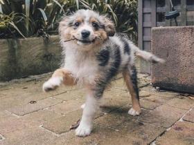 看了这些狗狗照片,会不会让你喜欢上澳大利亚牧羊犬?