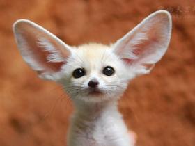 耳廓狐被主人强迫吃素多年,引发健康问题,女子的行为引发热议