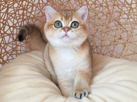 金渐层怎么养?如何才能养好一只金渐层猫?