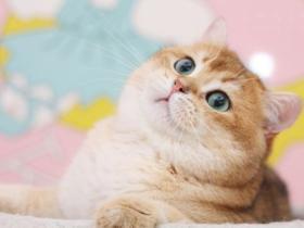 第一次养猫,金渐层该怎么挑选?金渐层价格怎样?