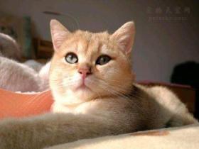 """金渐层是什么猫?为什么会被称作是""""招财猫"""""""