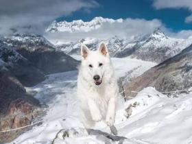 看了瑞士牧羊犬的幸福日常,全网都酸哭了!