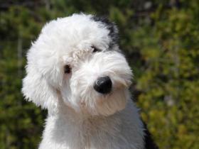 粘人又憨厚的古牧为什么成了禁养犬种?