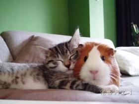 """""""无毛""""的天竺鼠生活得很幸福 身边总是有各种美味"""
