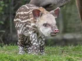 巴西貘—一种长得很丑但很温柔的物种
