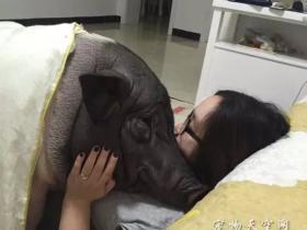 北京姑娘养了一只170斤的宠物猪