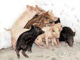 母猪发情跑深山,死前带回小猪向旧主托孤