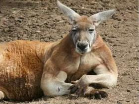 澳大利亚网红肌肉袋鼠罗杰离世,它的照片曾传遍国内外媒体