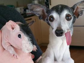 怎样给宠物清理耳朵?