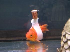 """金鱼主人用木塞  给金鱼做了一个特殊""""轮椅"""""""