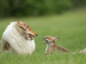 小狐狸的妈妈死于车祸  一只牧羊犬收养它并担当妈妈