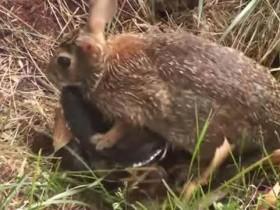 兔蛇大战视频走红:兔妈妈为护崽暴揍黑蛇