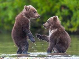 """俄国两只熊崽争执后  握手""""言和""""萌照蹿红网络"""