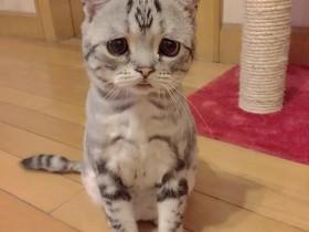 """""""悲伤猫""""网上爆红:仿佛全世界都欠它小鱼干"""