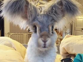 """安哥拉兔Wally:有一对漂亮的""""天使之翼"""""""