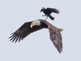 """百年难遇的镜头:乌鸦""""骑""""老鹰 成功搭顺风车"""