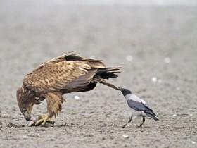 乌鸦就是这么拽 喜欢调戏比它们大的动物