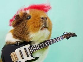 原来养一只荷兰猪是这么幸福的事情