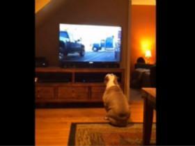 喜欢看广告的斗牛犬