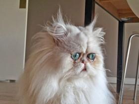 """网上很火的一对兄弟猫咪:""""外星猫""""Manchego和Chipotle"""