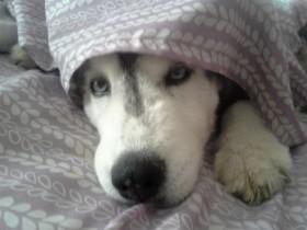 狗狗玩累了 只想躺在床上痛痛快快地睡一觉