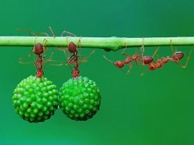 印尼丛林里的蚂蚁搬运果实照片 让人无比震撼