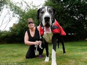 丈夫不喜欢大型犬 妻子骗他是小型犬结果狗狗越长越大