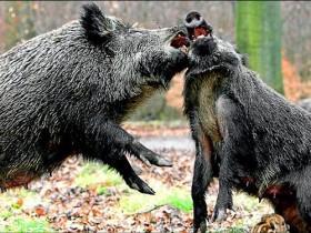 为救爱犬 意大利77岁老翁被野猪群活活咬死