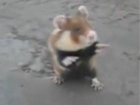 一只脾气暴躁的腹黑仓鼠