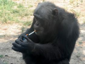 抑郁的大猩猩像人一样抽烟